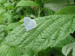 Holly blue butterfly (Celastrina argiolus), side view
