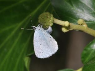 Holly blue butterfly (Celastrina argiolus), female ovipositing on ivy