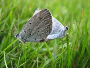Holly blue butterfly (Celastrina argiolus), mating